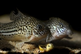 small spotted catfish of the corydora spieces