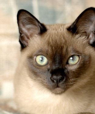 A purebred Tonkinese male kitten. Focus = the eyes. 12MP camera.